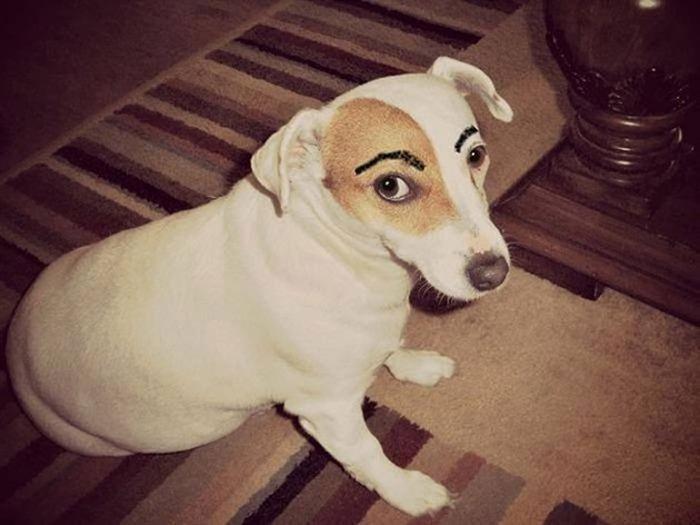 Мой хозяин идиот или собаки с бровями (26 фото)