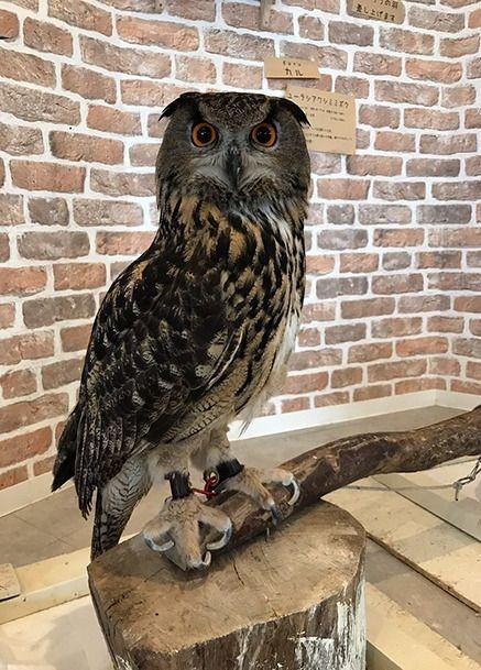 Реальная длина ног совы не видна из-за густых перьев (2 фото)