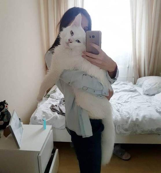 Кот породы мейн-кун стал известен благодаря крупным размерам (9 фото)