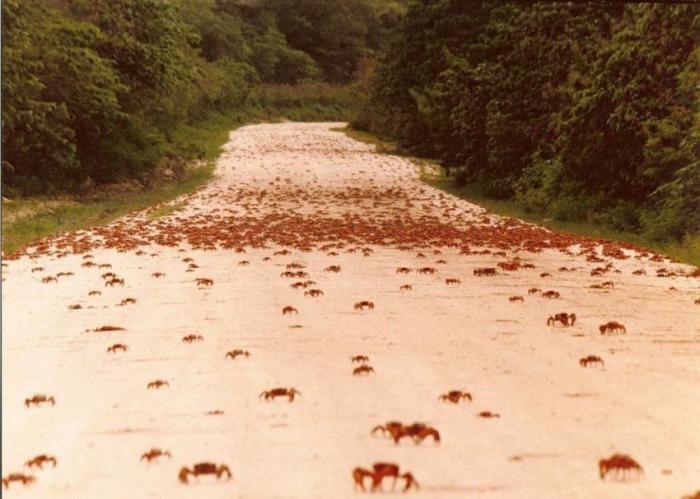 Миграция крабов на острове Рождества (8 фото)