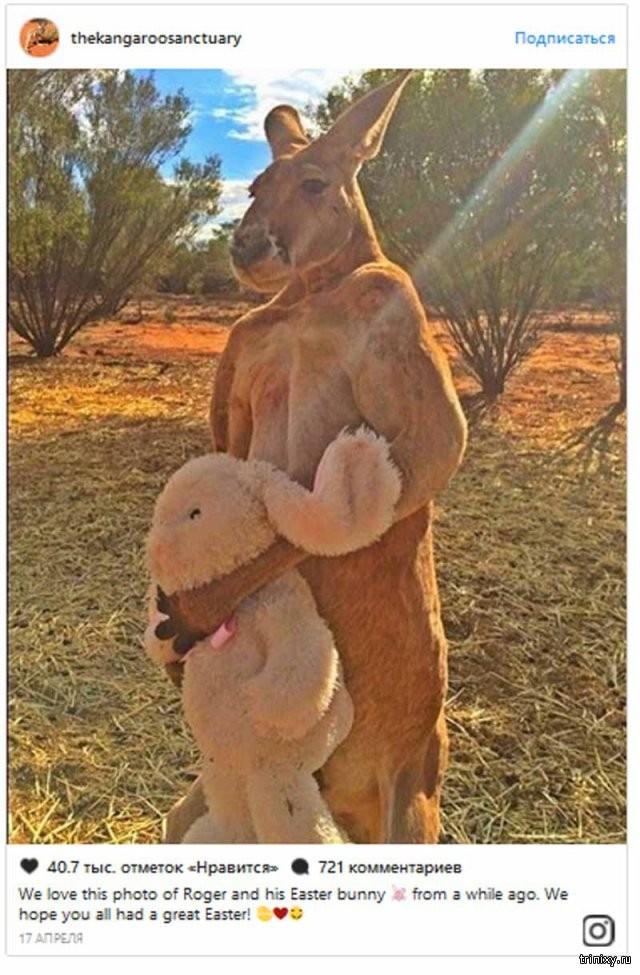 В Австралии поставят памятник прославившемуся кенгуру (3 фото)