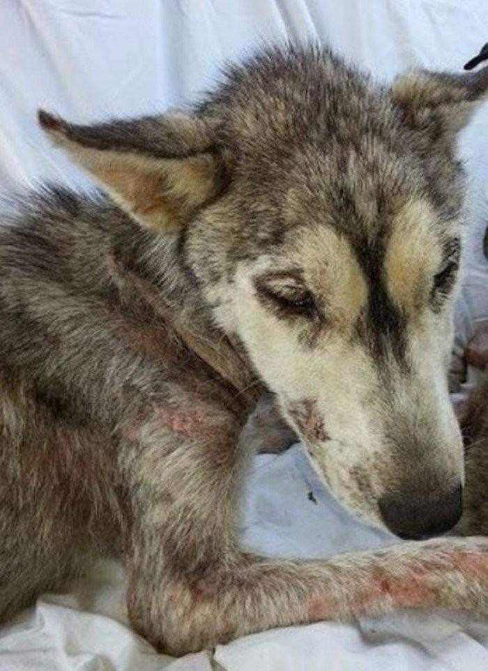 На асфальте лежала полуживая собака, скрывая под животом самое ценное сокровище (11 фото)