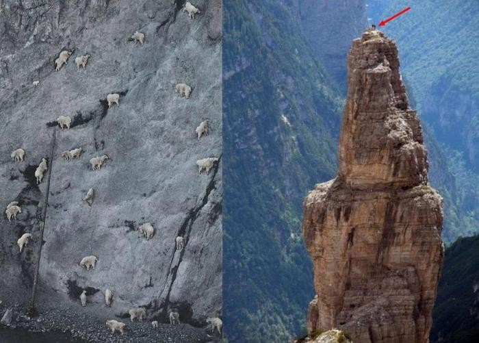 Козлы-скалолазы (8 фото)