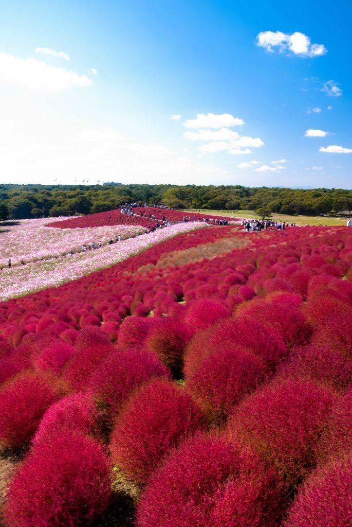 Красные кохии в Японии (14 фото)