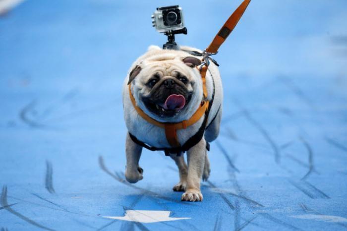 Мини-марафона для собак в Бангкоке (13 фото)