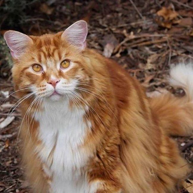 120-сантиметровый кот может попасть в «Книгу рекордов Гиннеса» (10 фото)