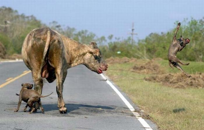Бой быка и собак (4 фото)