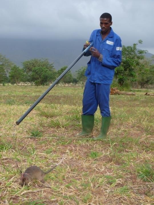Крысы-саперы (9 фото)
