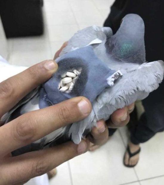 В Кувейте задержан голубь-контрабандист (4 фото)