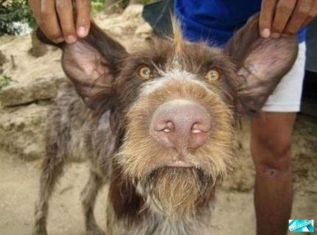 Двадцатка самых уродливых собак (20 фото)