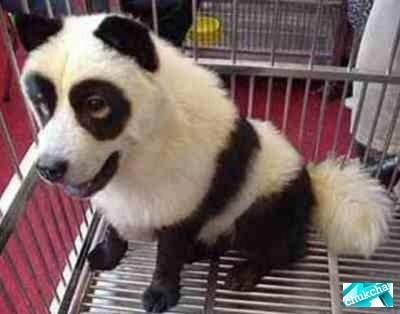 Китайские собаки-панды и собаки-тигры (10 фото)