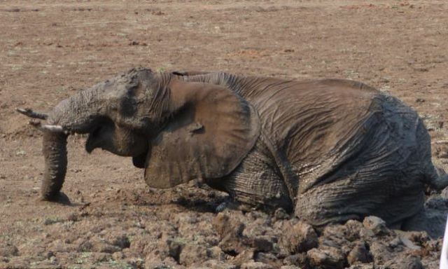 Слон застрял в грязи (16 фото)