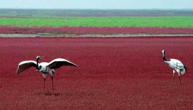 Красный пляж в Китае (8 фото)