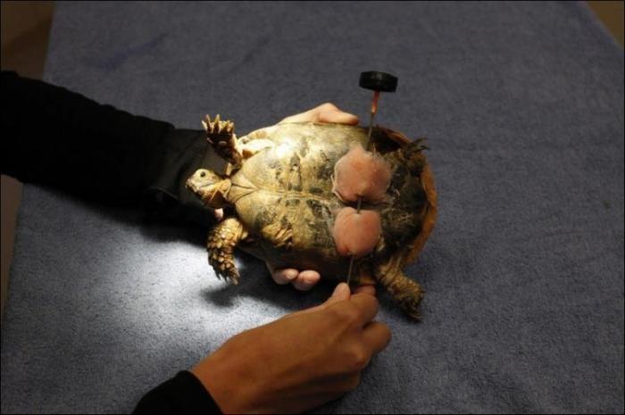Черепаха на колесиках (3 фото)