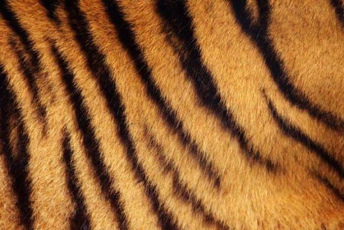 Как выдумаете, полосатая у тигра кожа или нет? (5 фото)