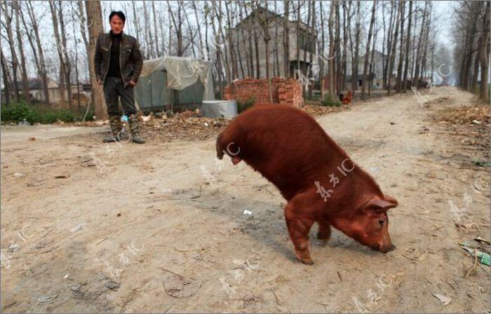 Поросенок, которых ходит на передних лапах (10 фото)