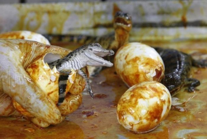 Как рождаются крокодилы (5 фото)