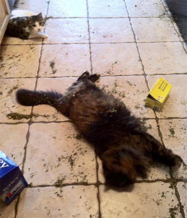 Забавные коты под различными веществами (29 фото)