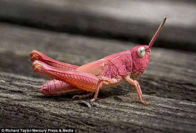 Гламурный кузнечик розового цвета (5 фото)