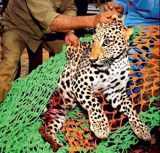 Не каждый леопард способен перемахнуть 10-метровый забор (4 фото)