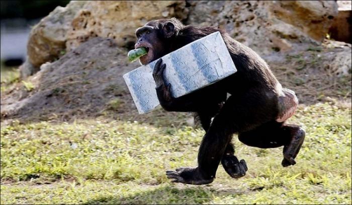 Подарки для шимпанзе (10 фото)