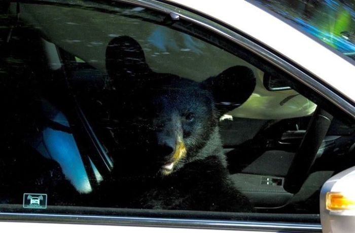 Медведь забрался в машину (5 фото)