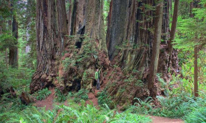 10 высочайших деревьев планеты (10 фото)