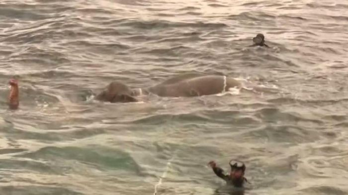 На Шри-Ланки спасли слона, унесенного в открытое море (5 фото)