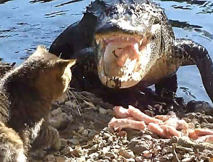 Кот против аллигатора (4 фото)