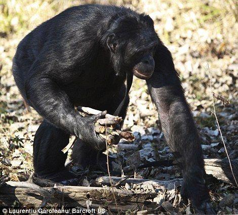 Kanzi - самая умная шимпанзе (12 фото)