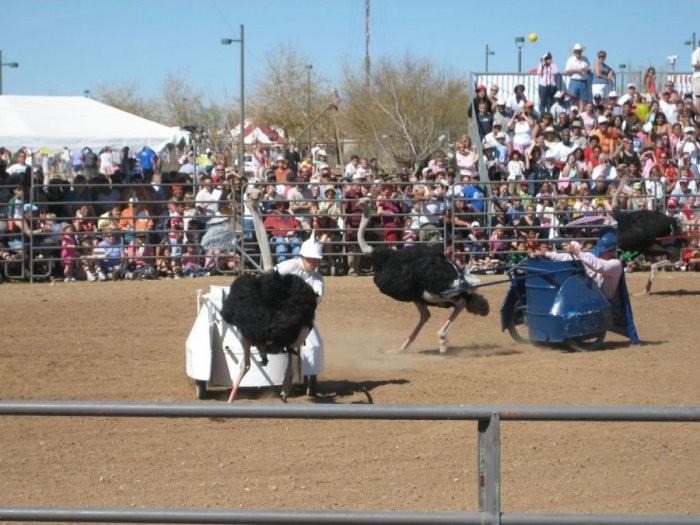 В Аризоне прошел фестиваль страусов (9 фото)