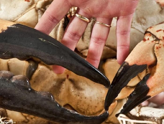 Тасманский гигантский краб (5 фото)