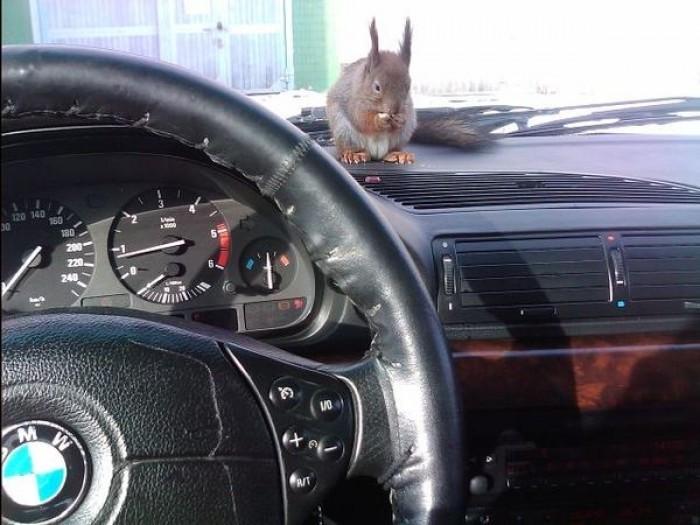 По Минску в такси ездит белка (13 фото)