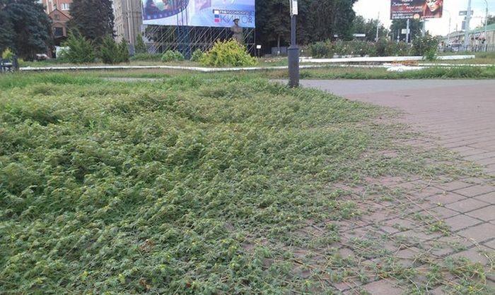 Сорняковое растение якорец стелющийся захватывает Таганрог (3 фото)
