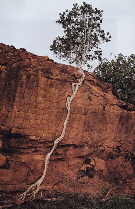 Деревья, растущие в необычных местах (31 фото)