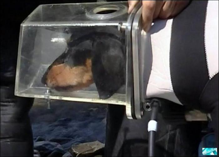 Прикольная такса-дайвер (6 фото)