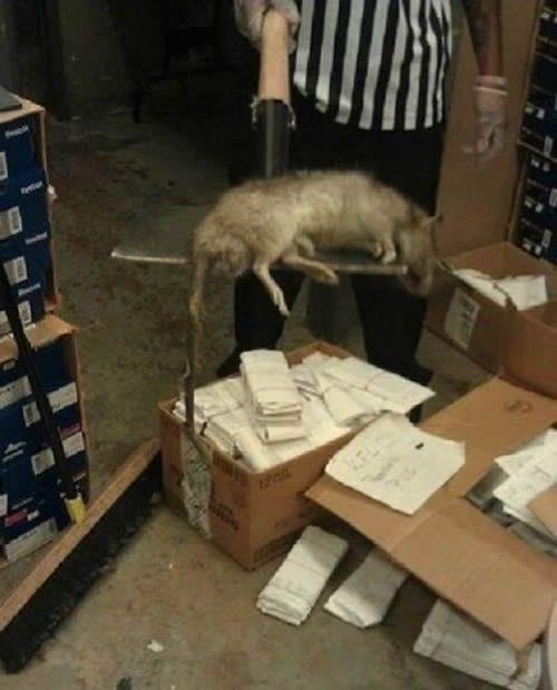 Верится с трудом, но подобных крыс ловят в Нью-Йорке...
