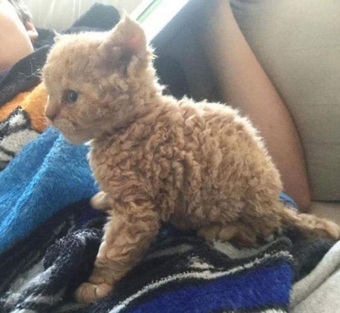 Милые котята породы селкирк-рекс (5 фото)