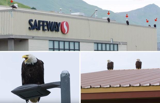 Орлы на Аляске – как голуби у нас (5 фото)