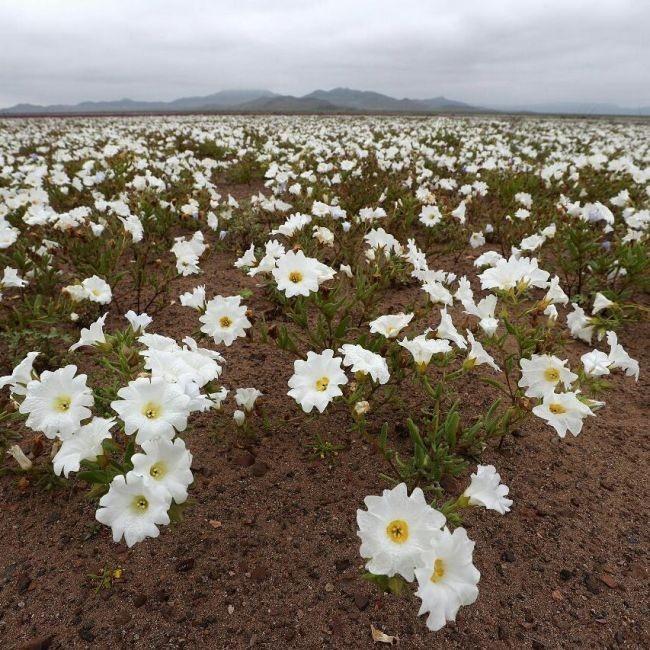 В Чили из-за проливных дождей расцвела пустыня Атакама (4 фото)