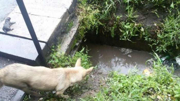 Мужчина залез в сточную канаву, чтобы спасти тонущих щенков (6 фото)