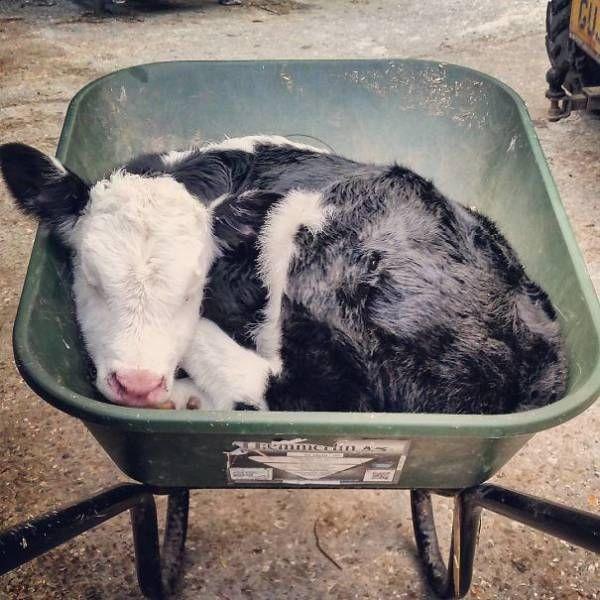 Коровы, которые похожи на собак (28 фото)