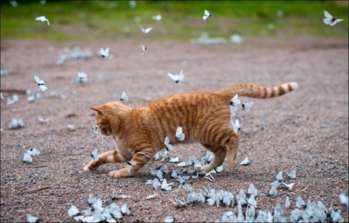 Кот и бабочки (6 фото)