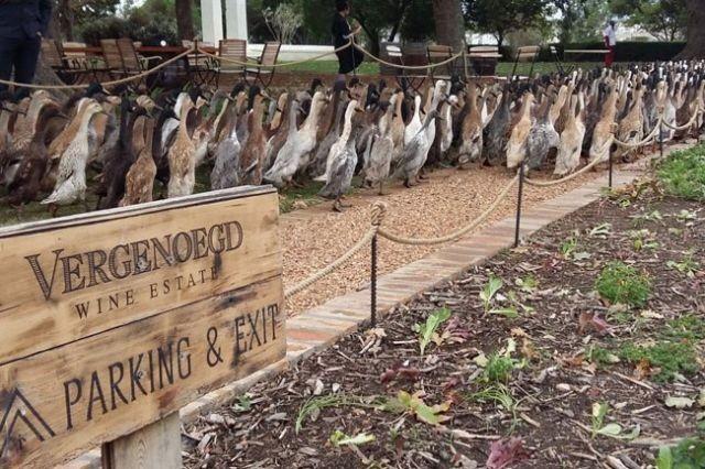 На ферме в ЮАР для борьбы с вредителями стали использовать уток (4 фото)