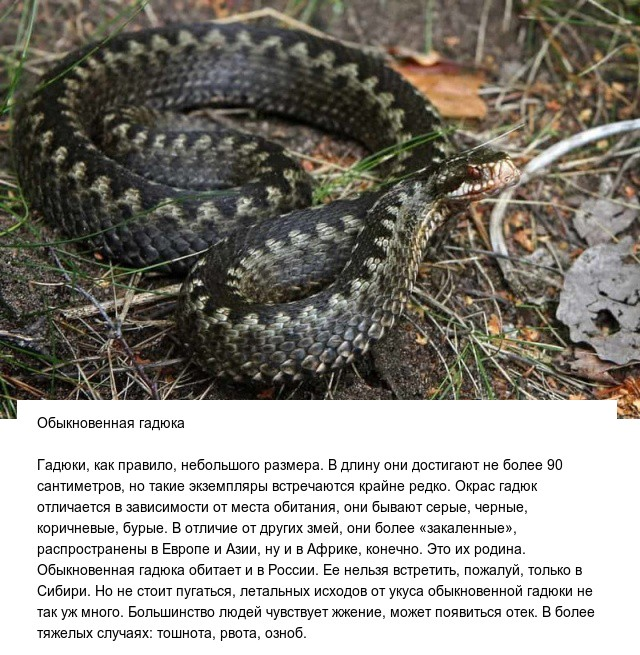 Самые опасные и ядовитые в мире змеи (10 фото)