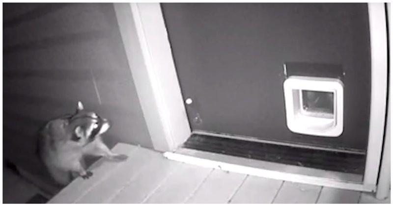 Кот прогнал енота, пытавшегося залезть в дом (фото+видео)