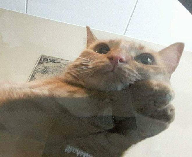 Коты на стеклянных столах и полках (19 фото)