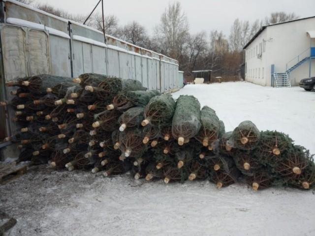 Житель Урала закупил новогодние ёлки на 1,5 миллиона (6 фото)