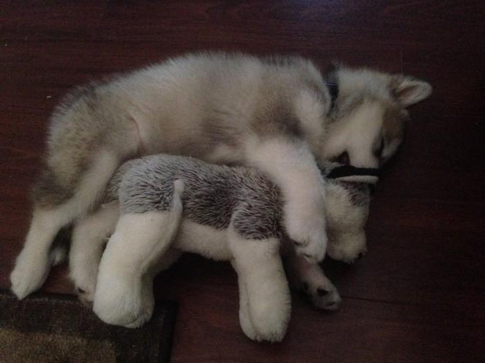 У этой собаки всего одна любимая игрушка (2 фото)
