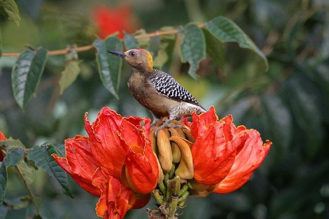 Удивительное африканское тюльпанное дерево (21 фото)